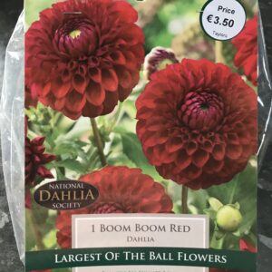 Dahlia Boom Boom Red